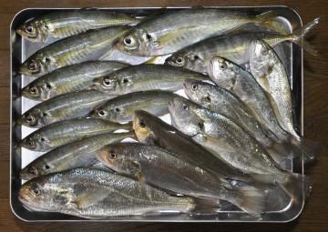 今日の釣果 アジとイシモチにサバ数えきれズ