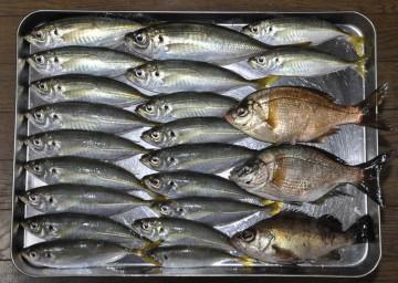 今日の釣果はアジとメバルにウミタナゴ