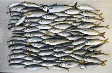 チビアジから33cmまでナンと82匹。サバは1匹ダケ