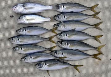 横須賀沖での釣果