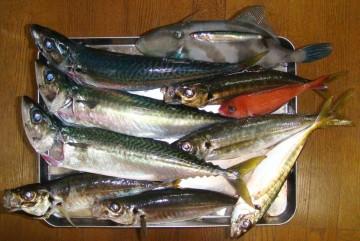 今日の釣果・・・久しぶりのシメサバと松輪の金アジのタタキ