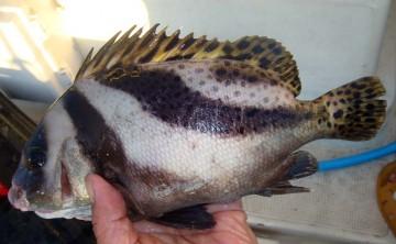 変わった魚をゲット・・・山口さん