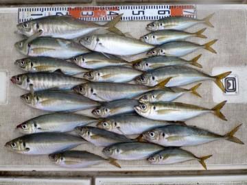 今日の釣果43〜25cmのアジ26匹35cm以上がかなりありました