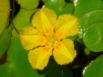 船着き場のメダカの水槽に咲いたアサダの花
