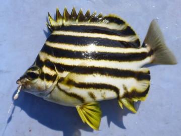 まずは変わったお魚・カゴカキダイのご挨拶 食べると美味しいらしいが放流!