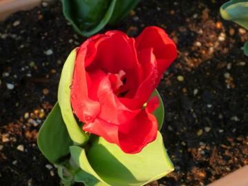 船付き場に植えた30本のチューリップ 今日開花しました