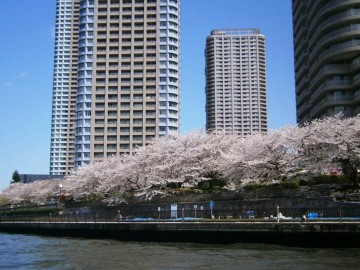 勝鬨橋をこえ佃島の満開の桜