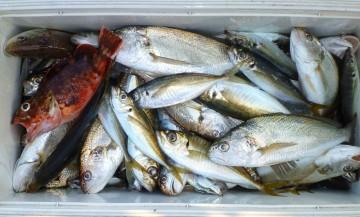 アジ釣りがイシモチのオンパレード・・・