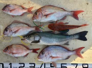 タイ5枚 スズキ ホーボーが釣れました