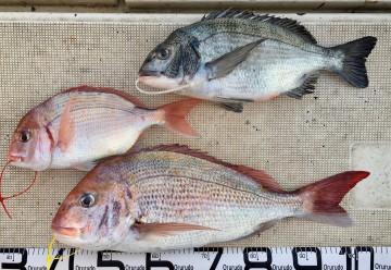 タイにクロダイ・ハナダイが釣果です