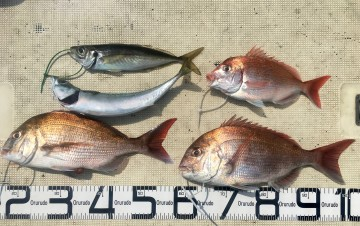 今日の釣果はタイ2 ハナダイ アジ サバ・・・でした