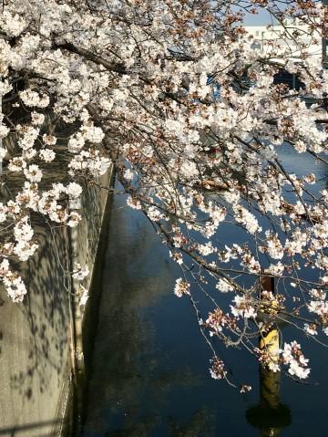 乗っ込みが始まり、船着き場の桜は7分咲き・・・!