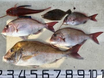 マダイ4.23kg頭に船中4枚とホーボーにカレイ