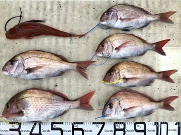 釣果です・・・マダイ7枚<1.42kg1.10kg860g760g710g630g・26cm(リリース)>とホーボー