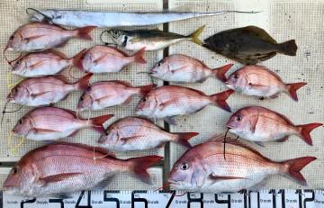釣果はマダイ13枚<2.68kg2.45kg〜塩焼きサイズ>タチウオ・ソゲ・大アジでした